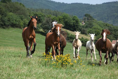 Herd of running horses Stock Photography