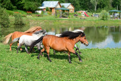 Herd of running mini horses Falabella on meadow, selective focus Stock Photo