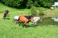 Herd of running mini horses Falabella on meadow. In summer, selective focus Royalty Free Stock Images