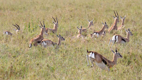 Herd of running Thomson's gazelles. A herd of Thomson's gazelle (Eudorcas thomsonii) running away in Serengeti National Park, Tanzania Royalty Free Stock Photography