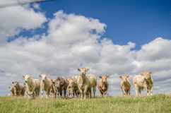 Herd Of Rural Cows Stock Photography