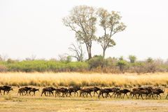 A Herd of Sable's walking Stock Image