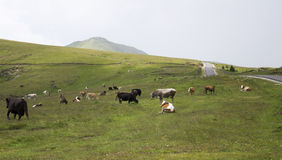 Herd of scattered cows on mountain field. Near small road Stock Images