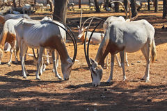 A herd of scimitar horned oryx Royalty Free Stock Images