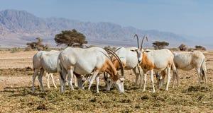 Herd of scimitar Oryx Stock Photography