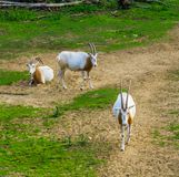 Herd of scimitar oryxes in a pasture, animal specie that is extinct in the wild stock images