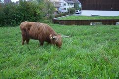 Herd of Scottish Highland Cattle in Alps. Switzerland. A Herd of Scottish Highland Cattle in Alps. Switzerland Stock Images