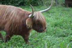 Herd of Scottish Highland Cattle in Lucerne. Switzerland. The Herd of Scottish Highland Cattle in Lucerne. Switzerland Stock Photos
