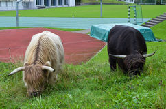 Herd of Scottish Highland Cattle in Lucerne. Switzerland Royalty Free Stock Photo
