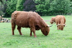 Herd Scottish highland cows Royalty Free Stock Image