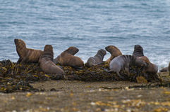 Herd of sea lions.Argentina Royalty Free Stock Photos