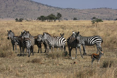 Herd in Serengeti National Park Stock Photos