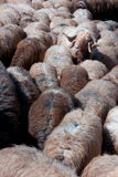 Herd of sheep. Herd (flock) of sheep, one head and shoulders above the rest Royalty Free Stock Photo