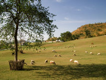 Herd of Sheep. In the green field Stock Image