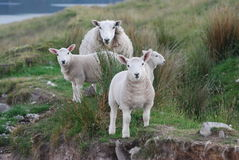 Herd Of Sheep royalty free stock photos