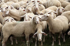Herd of Sheep. Close-up of a Herd of Sheep in Germany. Europe Stock Photos