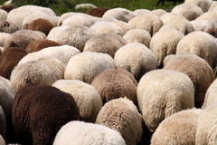 Herd of Sheep. Only the backs Royalty Free Stock Image
