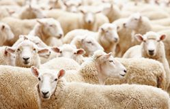 Herd of sheep. Livestock farm, Herd of sheep close up Royalty Free Stock Photo