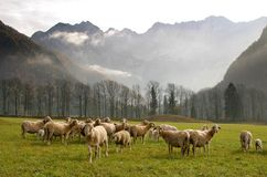 A herd of sheep. Mountains in the background Royalty Free Stock Photography
