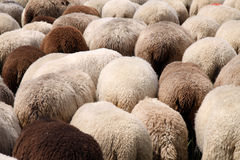 Herd of Sheep. Only the backs - in germany Stock Image