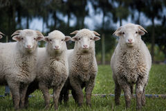 Herd of sheep. View of a curious herd of sheep looking at the camera Stock Image