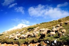 A herd of sheep. On a hill with nice blue sky Stock Photo