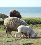 Herd of sheep. Grazing  in front of the sea Stock Photos