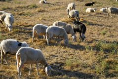 Herd of sheep Royalty Free Stock Images
