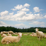 Herd sheep Royalty Free Stock Images