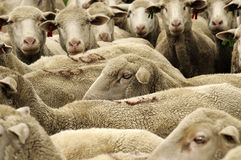 A herd of sheep. Bunched together Stock Image