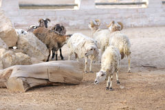 A herd of sheep Stock Image