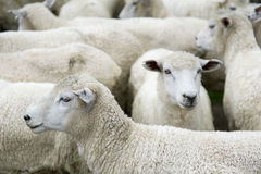 Herd of sheep. In New Zealand Royalty Free Stock Photography
