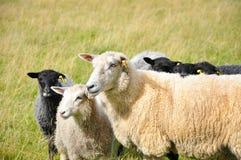 Herd of sheep Stock Photos