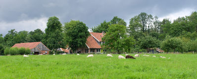 Herd of sheep. Sheep grazing in tall grass in front of a dutch farm royalty free stock image