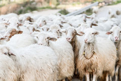 Herd of sheep. Texture of herd of sheep Royalty Free Stock Photography