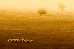 A herd of sheep. In a meadow royalty free stock photo