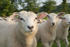 Herd of sheep Royalty Free Stock Photography