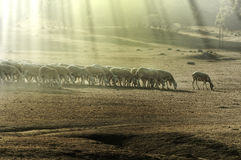 Herd sheep Stock Photography