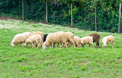 Herd of sheep. Royalty Free Stock Photos