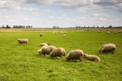 Herd of sheep. In the field under blue cloudy sky Stock Photo