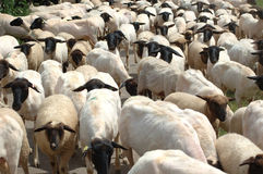 A herd of sheep Stock Images