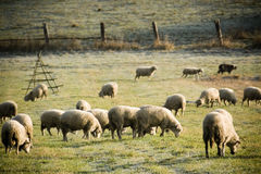 Herd of sheep. In the morning sun stock images