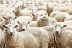 Herd of sheep. Livestock farm, herd of sheep Stock Photography