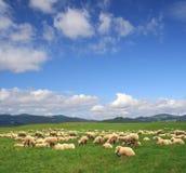 Herd sheep. On beautiful pasture Stock Image