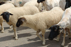 Herd of sheep. Royalty Free Stock Photography