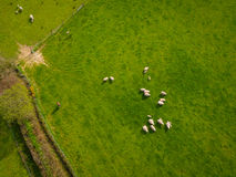 Herd Of Sheep Aerial. Herd Of Sheep in green field Aerial Royalty Free Stock Images