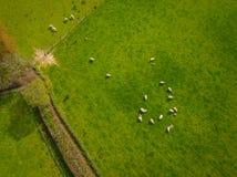 Herd Of Sheep Aerial Stock Photo