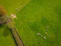 Herd Of Sheep Aerial Royalty Free Stock Photos