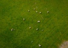Herd Of Sheep Aerial Royalty Free Stock Image