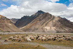 Herd of sheep against the background of Zanskar mountain range. Rangdum village, Zanskar valley, Jammu and Kashmir, India Stock Images